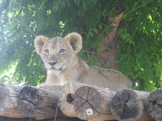 Harnas Wildlife Foundation and Guest Lodge: lion cub