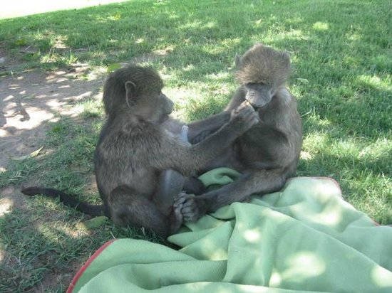 Harnas Wildlife Foundation and Guest Lodge: baby baboons- frikke & gracie