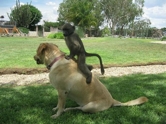 Harnas Wildlife Foundation and Guest Lodge: a dog and a baboon...