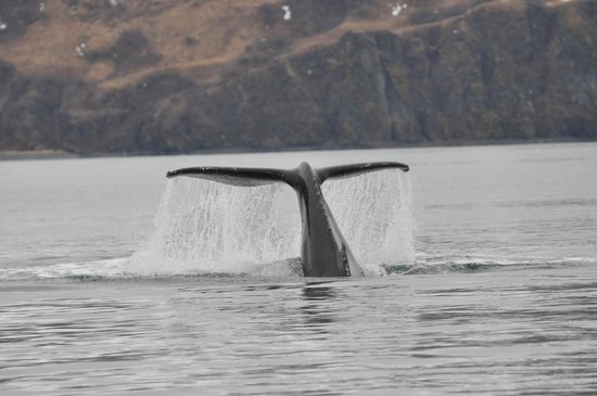 Kodiak Adventures Lodge - Larry Carroll:                   Whale in the bay.