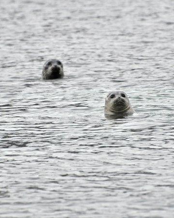 Kodiak Adventures Lodge - Larry Carroll:                   Seals trying to peek in our window