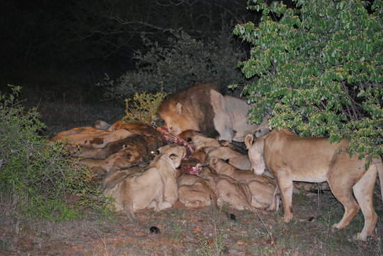 Naledi Bushcamp and Enkoveni Camp: Lions on a Kill