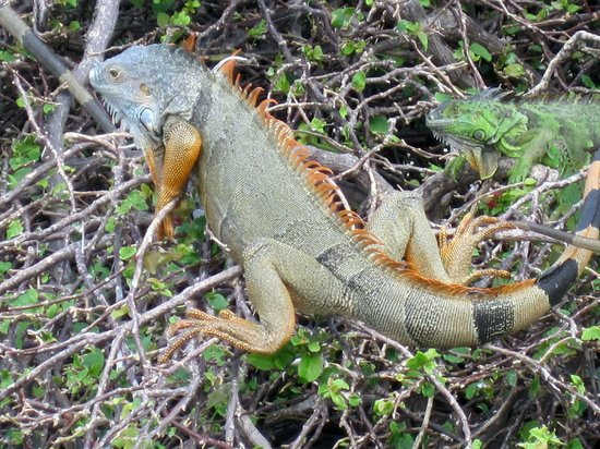 EPIC Hotel - a Kimpton Hotel:                   IGUANAS ON BRICKEL KEY,  FIVE FEET LONG!