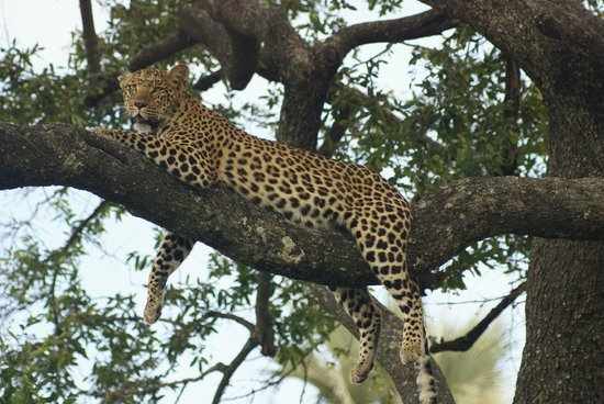 Wilderness Safaris Mombo Camp:                   Lazing Leopard