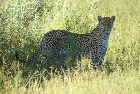 Wilderness Safaris Mombo Camp:                   A stop in the shade..