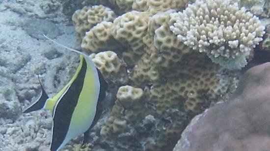 Summer Island Maldives:                   Moorish Idol, shoals of them! Amazing