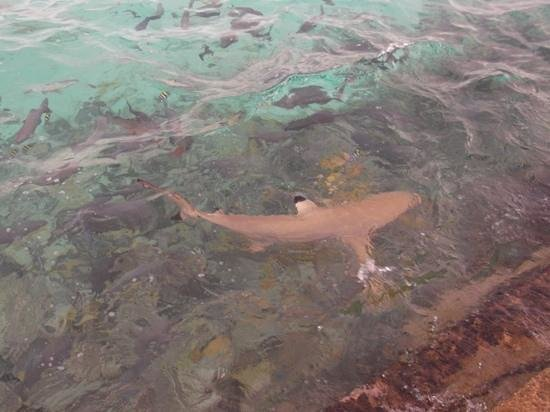 Summer Island Maldives:                   Reef Shark at Jetty feeding time