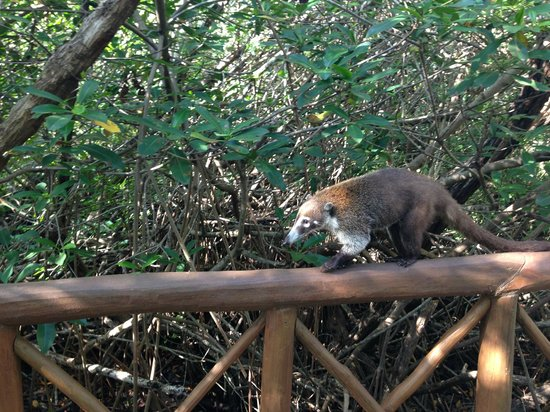 Catalonia Royal Tulum:                   Lots of white-nosed coati's on the way to the beach...