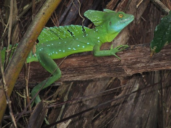 Tortuga Lodge & Gardens:                   Emerald Basilisk