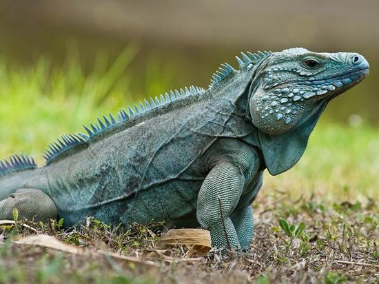 East End, เกาะแกรนด์เคย์แมน:                   Free-roaming blue iguana in QEII Botanic Park