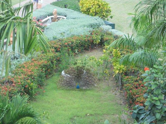 Sirenis Punta Cana Resort Casino & Aquagames:                   Le paon