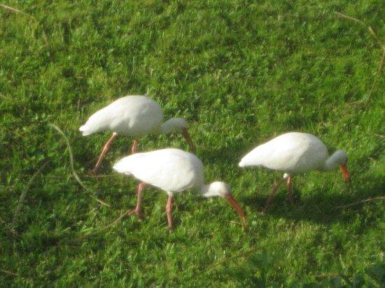 "BEST WESTERN Key Ambassador Resort Inn:                   Fun birds ""dining"" on the pool area grass"