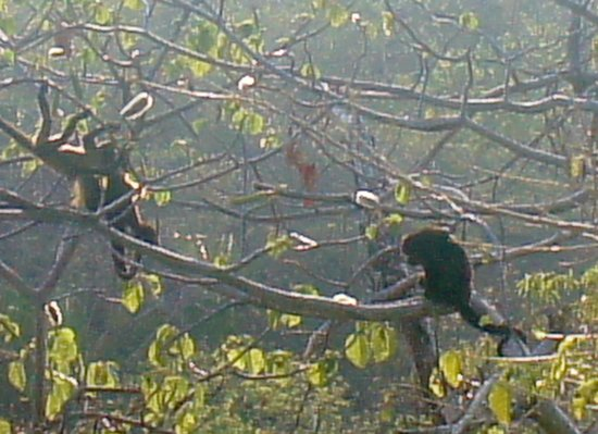 Hotel Flying Crocodile:                   Howler Monkeys on the property