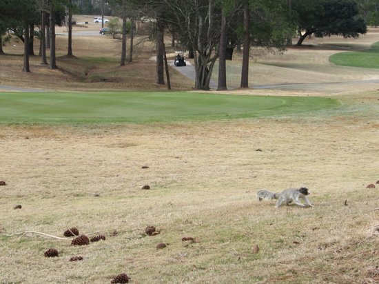 Lake Marion Golf Course:                   Funky Grey Squirrel!...hmm?
