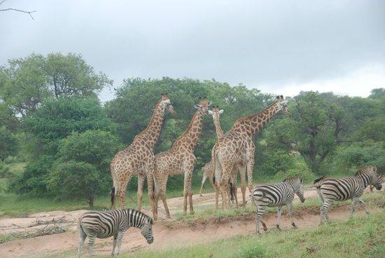 Gomo Gomo Game Lodge:                   A herd of giraffe
