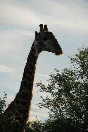 Gomo Gomo Game Lodge:                   Giraffe