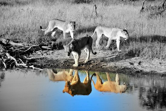 Wilderness Safaris Mombo Camp:                   Lions @ mombo