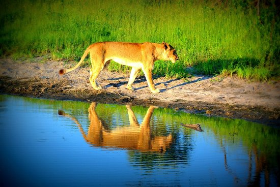 Wilderness Safaris Mombo Camp:                   Lion @ Mombo