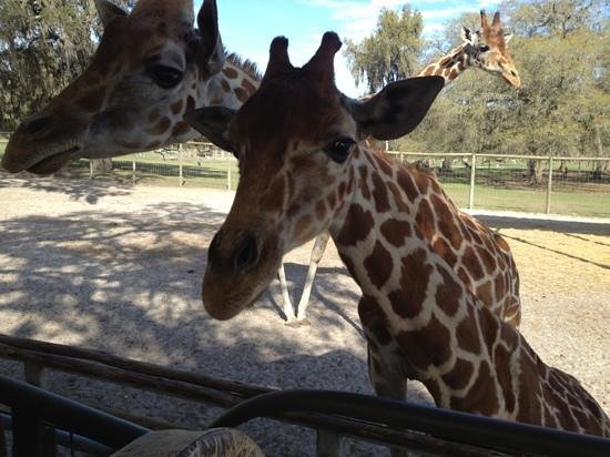 Giraffe Ranch: hello