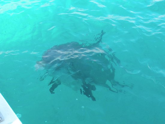 Caicos Dream Tours:                   Island Dolphin, Jojo, saying hi to all of us as we left for trip