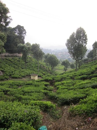 Neemrana's - Wallwood Garden: Nearby tea estate