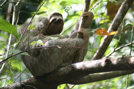 Lookout Inn Lodge:                   Sloth hanging out nearby.