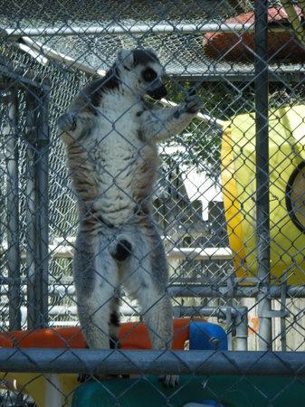 Suncoast Primate Sanctuary Foundation, Inc.:                   lemur