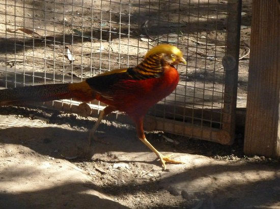 Wildlife World Zoo and Aquarium:                   Golden Pheasant