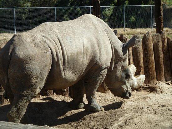 Wildlife World Zoo and Aquarium:                   White Rhino