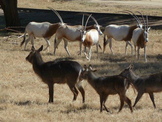 Wildlife World Zoo and Aquarium:                   Oryx and Waterbucks