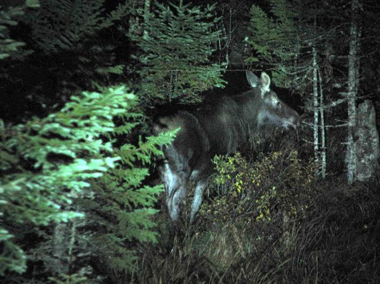 Night time moose siting, Pemi Valley Moose Tours, Lincoln, NH