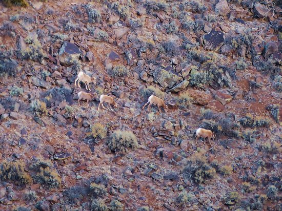 Rio Grande Gorge: Bighorn sheep grazing on the shrubs along the wall fo the gorge