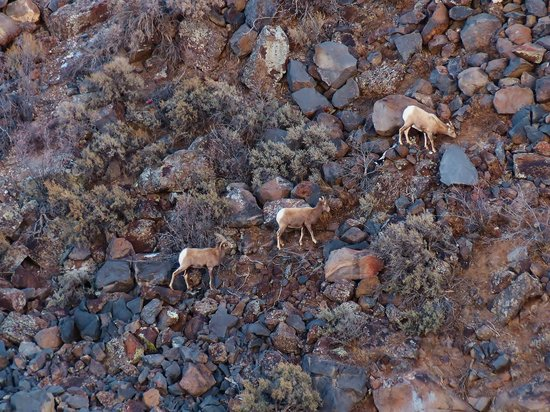 Rio Grande Gorge: Sparse vegetation did not provide much fodder for these bighorn sheep to graze on.