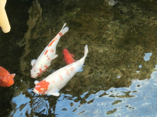 Koi fish in the pond around the restaurant picture of for Floating fish pond
