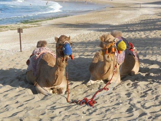 Shangri La Barr Al Jissah Resort & Spa-Al Bandar: The resident camels