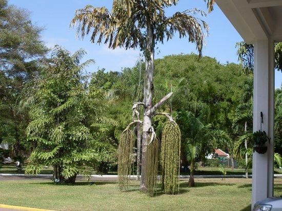 Sarova Whitesands Beach Resort & Spa:                   Look at  a unusual tree
