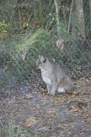 Oatland Island Wildlife Center: Bobcat