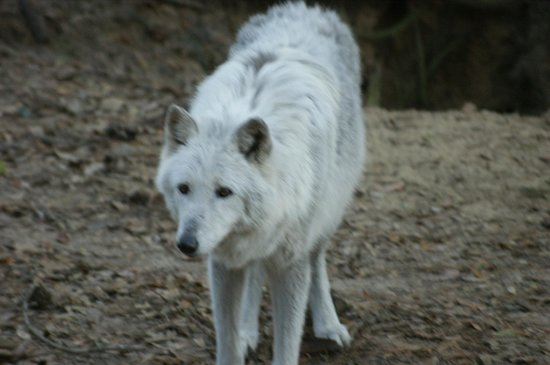 Oatland Island Wildlife Center: Wolf