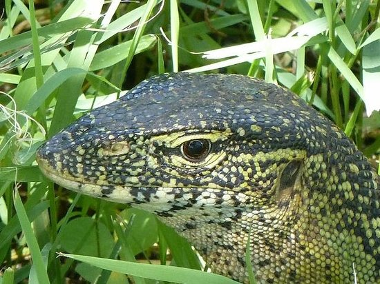 Voyager Ziwani, Tsavo West:                   Lizard in the grounds