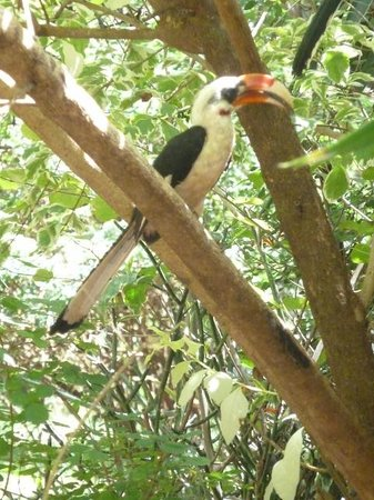 Voyager Ziwani, Tsavo West:                   Friendly hornbill looking at girlfriend in the shop