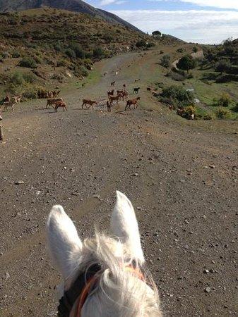Rancho La Paz:                   vi mötte en hjord getter.
