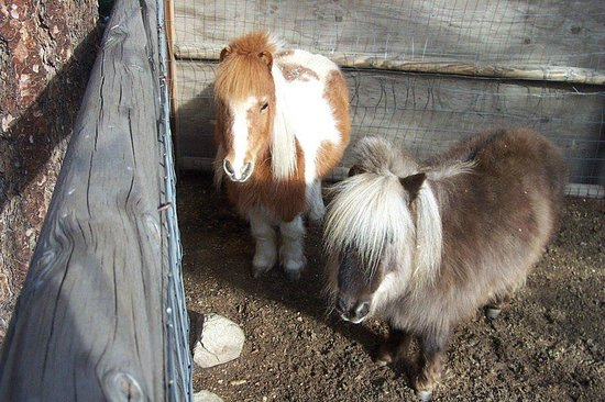 Eagle's Nest Bed and Breakfast Lodge:                   The Fuzzy miniature horses