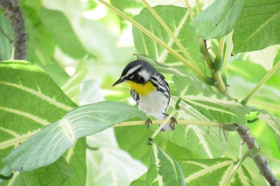 Banana Beach Resort: yellow throated warbler at breakfast