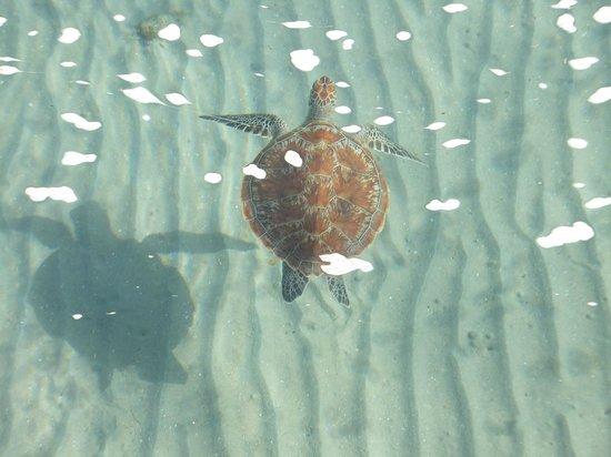 Sofitel Taba Heights :                   Turtle at Taba Heights