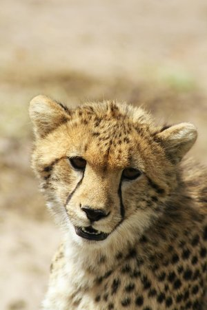 Governors' Il Moran Camp: Cheetah