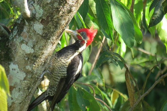 Black Orchid Resort: Lineated Woodpecker in the Black Orchid garden