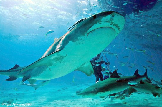 Old Bahama Bay:                   Shark Dive