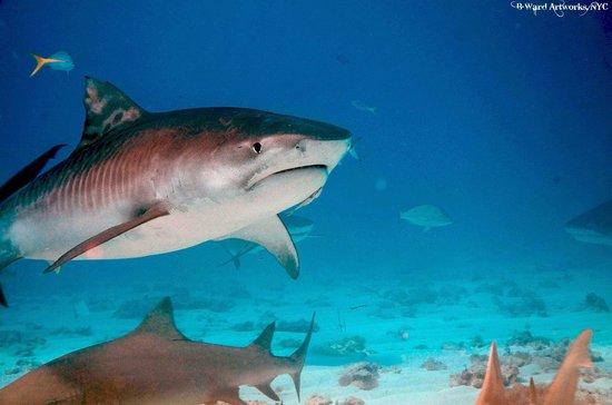 أولد باهاما باي ريزورت آند يوت هاربور:                   Shark Dive                 