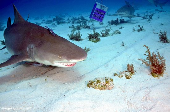 Old Bahama Bay:                   Shark Dive