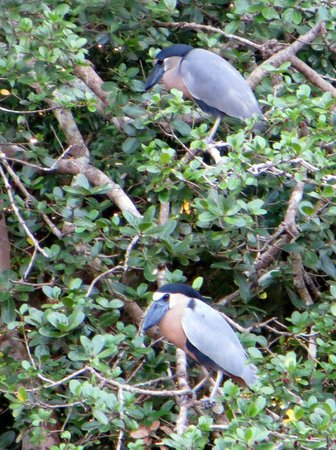 Finca Canas Castilla:                   Kahnschnabel (Boat-billed Heron, Cochlearius cochlearius) am Rio Sapoa